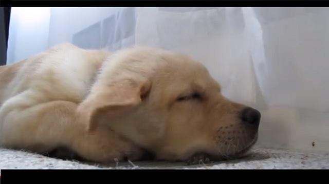 Sleepy Labrador Puppy Moki Loves The A C