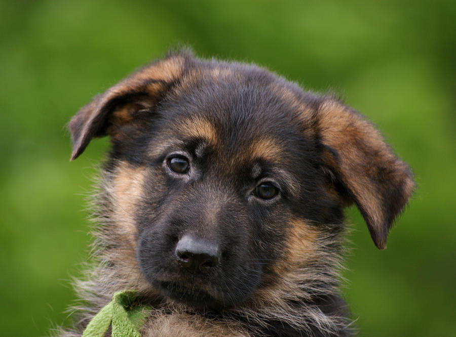20 German Shepherd Puppies That You Ll Want To Take Home Immediately
