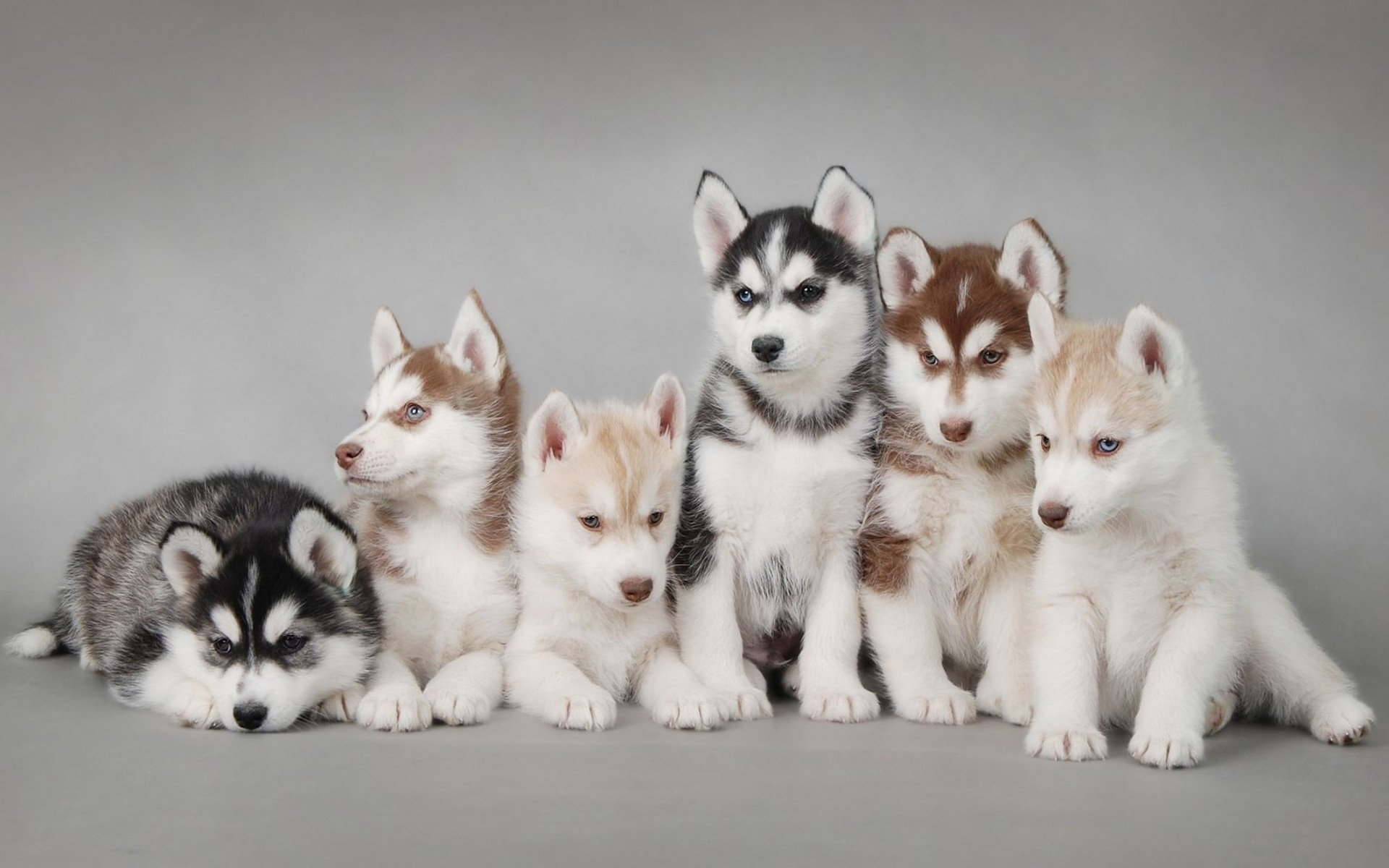20 of Husky Puppies that Will Melt Your Heart
