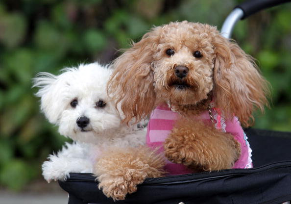 20 Dog Breeds With the Longest Life Spans