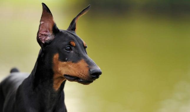 National Dog Show Doberman