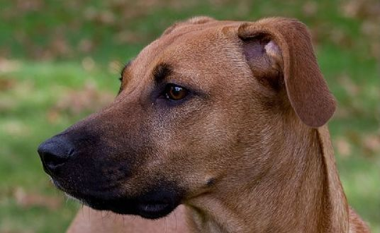 Black Mouth Cur Dog Breed: What You Need to Know