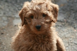 Mini Goldendoodle Dog Breed What You Need To Know