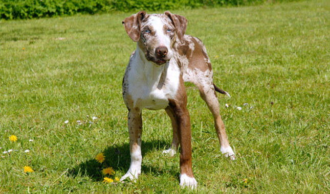 Catahoula Leopard Dog Breed What You Need To Know