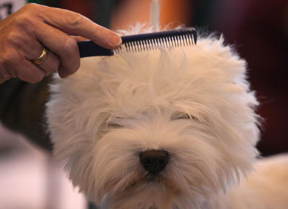 Westie Dog Breed What You Need To Know