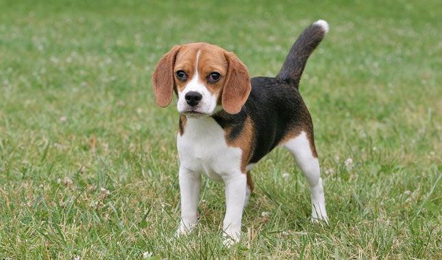 Darling Companion Dog Breed