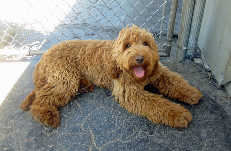 Straight Haired Dog Breeds