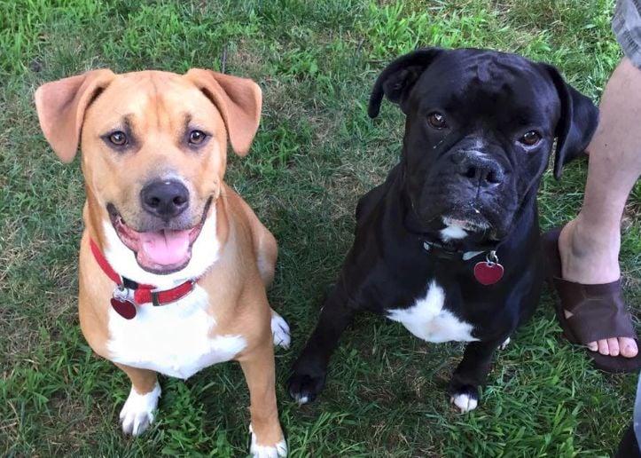 Dog boxer mix pitbull