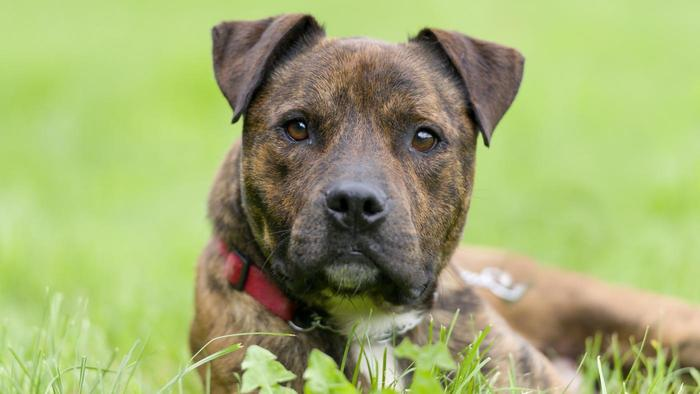 Brindle Dog Breeds Pictures