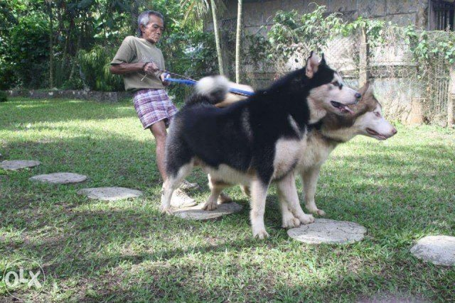 giant alaskan malamute dog breed information and photos