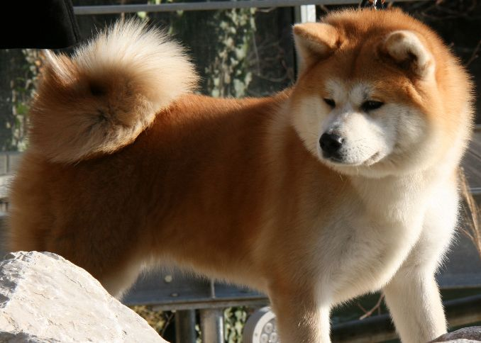 10 Things You Didn T Know About The Akita Inu