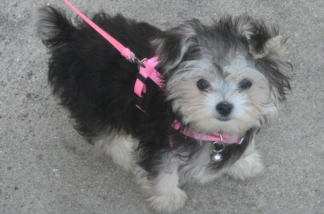 10 Things You Didn T Know About The Morkie