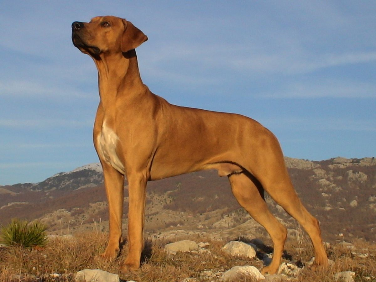 10 Things You Didn't Know about the Rhodesian Ridgeback