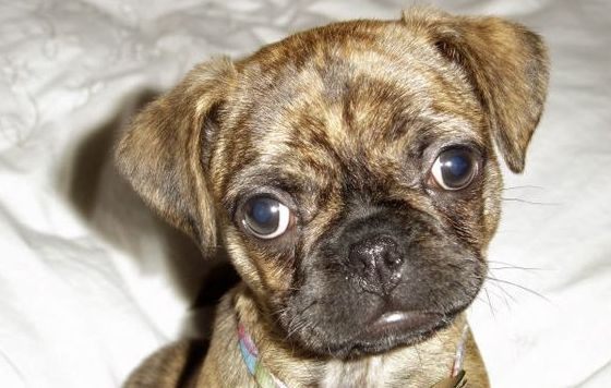 boston terrier pug mix puppies for sale boston terrier pug mix 5 things you didn t know 7720