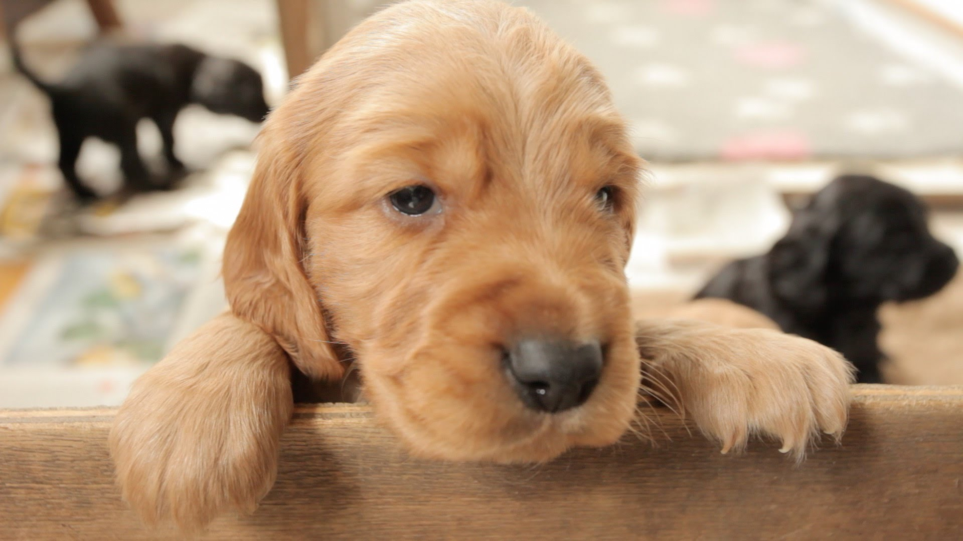 Cocker Spaniel Puppies: 5 Tips for Better Care