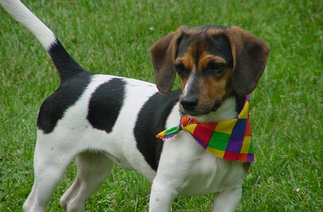 Great Small Leg Beagle Adorable Dog - Doxle  Pic_28841  .jpg