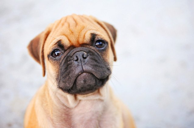 Miniature Boxer Five Thing You Didn T Know