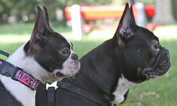 boston terrier or french bulldog boston terrier vs french bulldog comparing the two breeds 4442