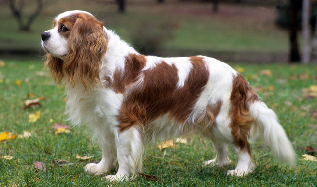 Top Five Myths About The Cavalier King Charles Spaniel