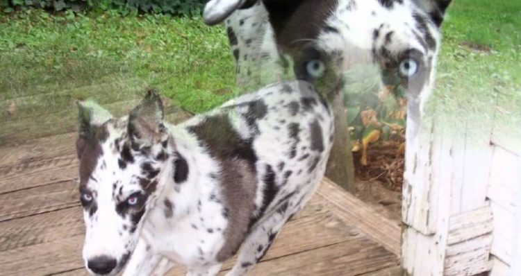10 Of The Most Interesting Great Dane Mixes
