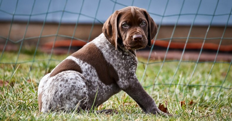 Dog Breed Black Pointers Pictures