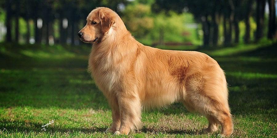 Dog Breed Golden Retriever Price