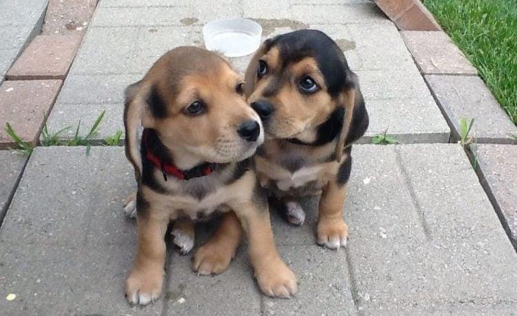 Beagle lab german shepherd mix puppies