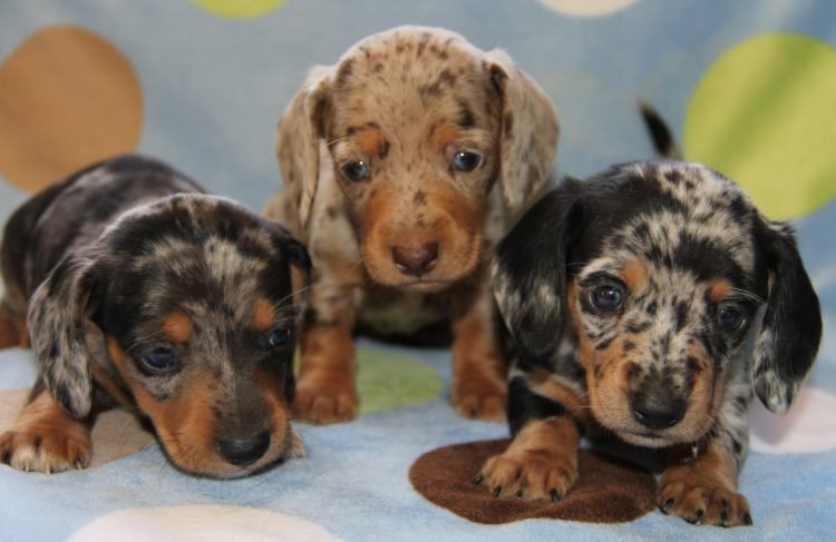 Miniature Weenie Dogs For Sale