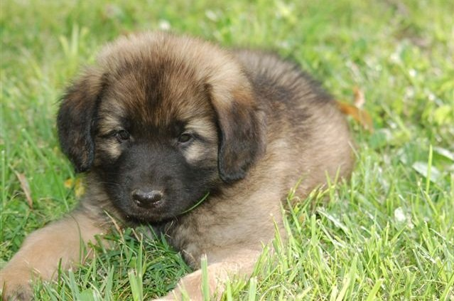 Tips and Tricks for Traveling with a Dog | The Places She Goes |Leonberger Dogs And Puppies