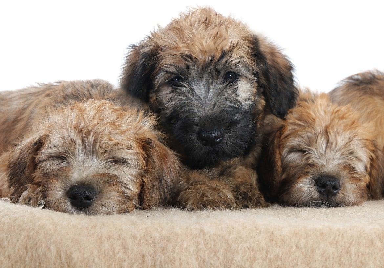 Soft Coated Dog Breeds