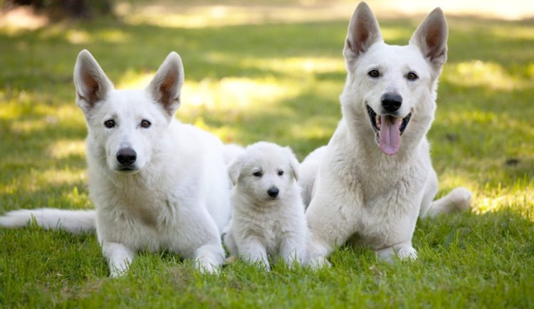 10 Things You Didn T Know About The White German Shepherd