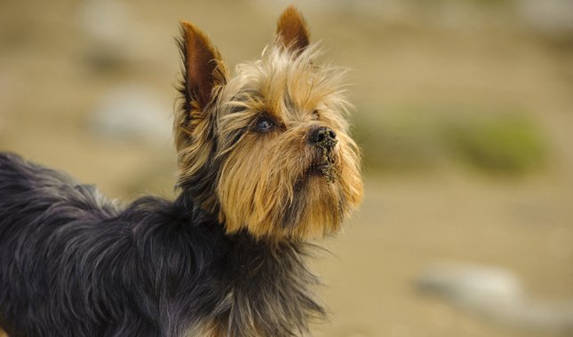 20 Cool Facts You Didn T Know About The Yorkshire Terrier