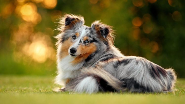 7 things you didn t know about the miniature collie