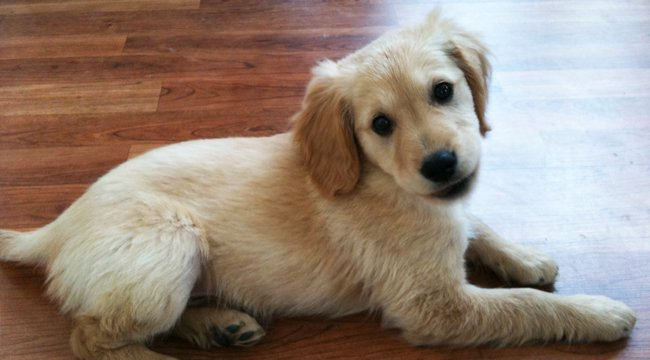 20 Fun Facts You Didn't Know About Golden Retrievers