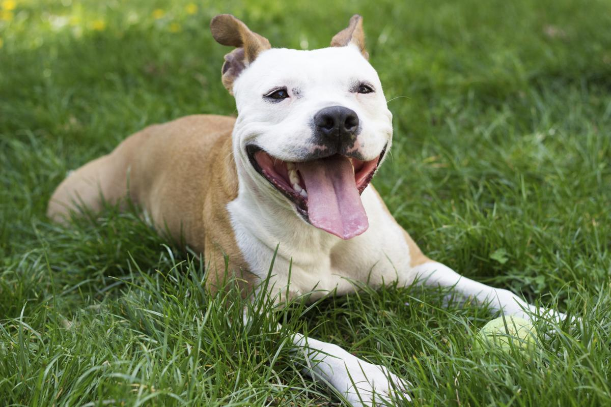 seven things you didnt know about the boxer pitbull mix