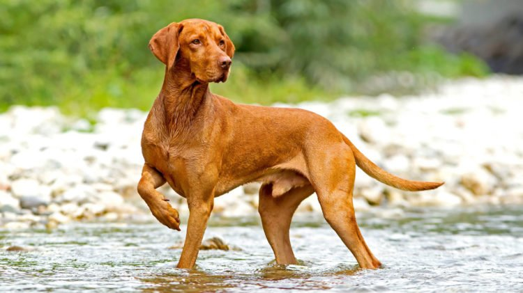The Hungarian Vizsla Is A Lovable And Loyal Pet This Breed Was Trained As Sports Hunting Dog But Also Companion Which Rare In