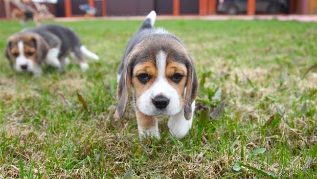 Simple Toy Beagle Adorable Dog - Pocket-Beagle-Images  Best Photo Reference_27985  .jpg