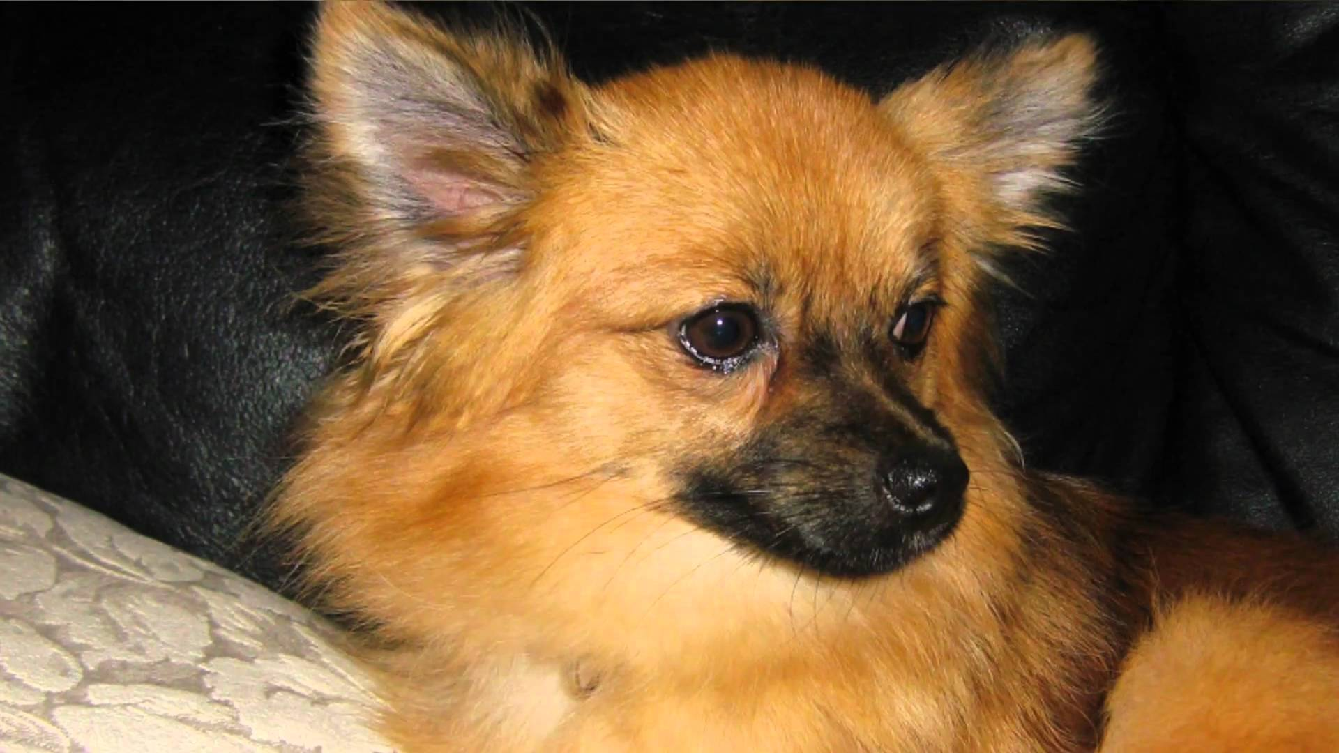 7 Things you Didn't Know about the Pomeranian Chihuahua Pomeranian Mix