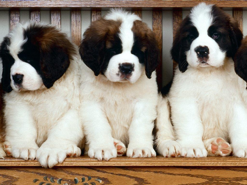Special Tips Caring For Saint Bernard Puppies