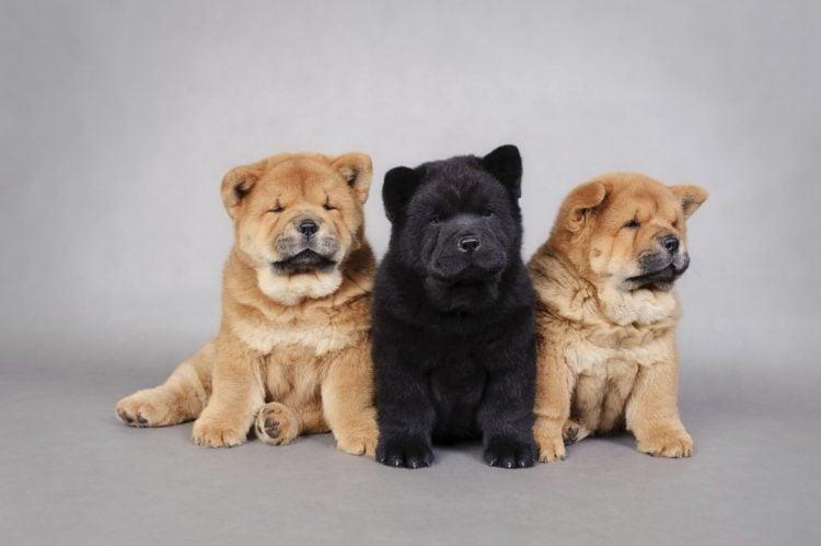 Good Chow Chow Chubby Adorable Dog - chow-chow-750x499  Graphic_119262  .jpg