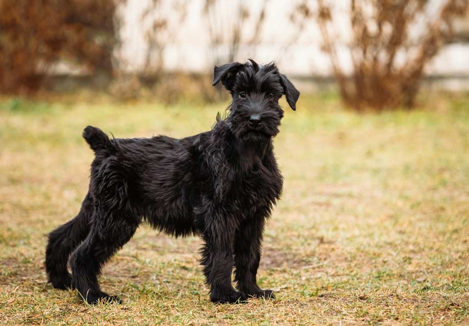 Large Dog Breeds For Sale In Nc