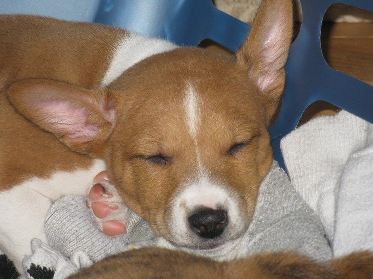 20 Things Only Basenji Owners Would Understand