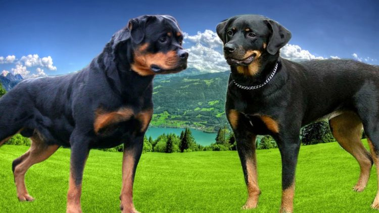 Seven Things You Didnt Know About The German Rottweiler