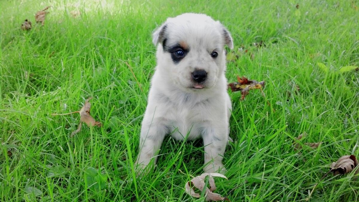 Mini Australian Cattle Dog Puppies