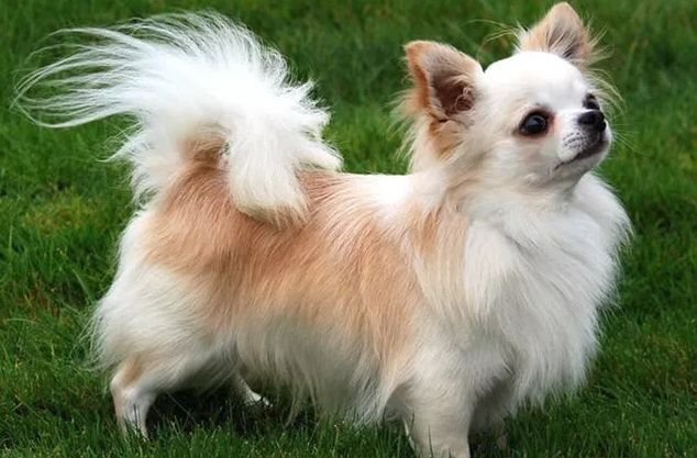 Dog That Looks Like Fluffy Chihuahua