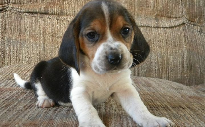 the beagle basset hound mix five things you didnt know