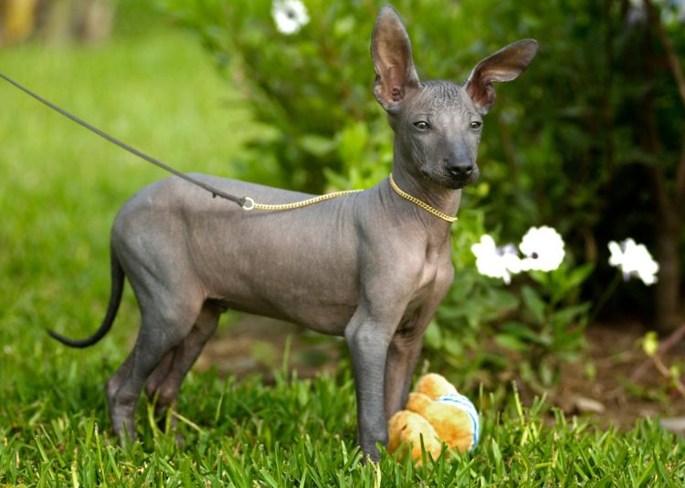 20 Things You Didn T Know About Hairless Dogs