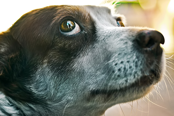what does it mean when the whites of your dog's eyes show?