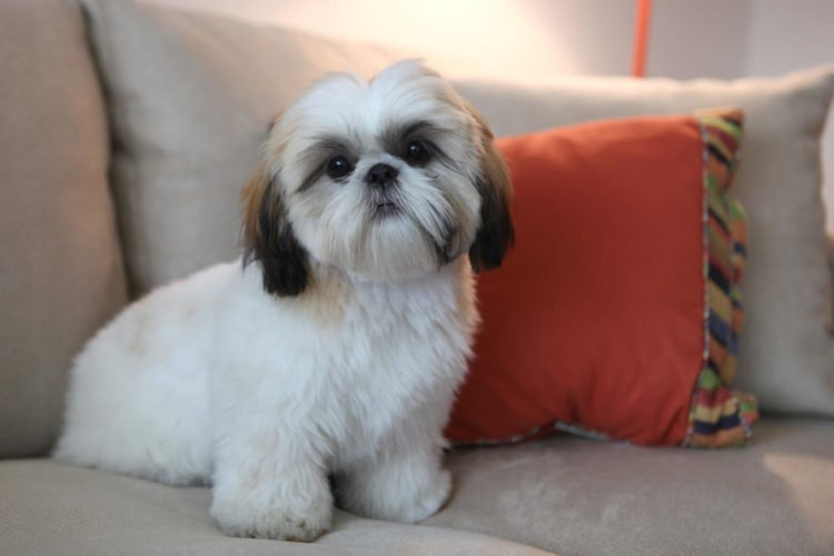 20 Cool Facts You Didnt Know About The Shih Tzu
