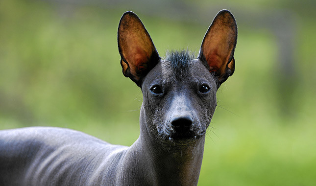 The 20 Rarest Dog Breeds in the WorldXoloitzcuintle Con Pelo